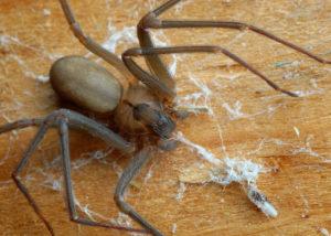spiders - pest control